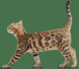 Mito Adult Cat